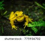 Portrait Of A Golden Dart Frog