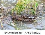 Female Duck Swimming Over Gras...
