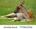 The Nile Lechwe Or Mrs Gray's...