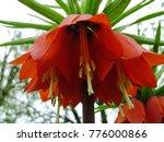 blooming crown imperial in... | Shutterstock . vector #776000866