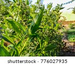 fresh green leaves in a local... | Shutterstock . vector #776027935
