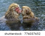 Japanese Macaques  Snow Monkey...