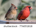 northern cardinal pair at feeder | Shutterstock . vector #776051818