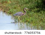 tricolored heron  also known as ... | Shutterstock . vector #776053756