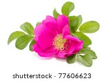 wild rose flower on a white background - stock photo