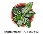 young ficus in a flowerpot...   Shutterstock . vector #776150542