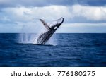 Humpback whale jumping out of...