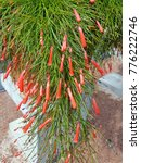 Small photo of Fountain plant, Russelia, Equisetiformis