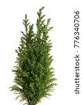 Little Green Cypress Tree....