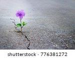 purple flower growing on crack... | Shutterstock . vector #776381272