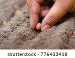 seedling peanut by farmer hand | Shutterstock . vector #776433418