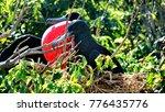 male magnificent frigatebirds ... | Shutterstock . vector #776435776