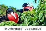 male magnificent frigatebirds ... | Shutterstock . vector #776435806