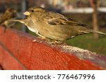 Small photo of Eurasian Tree Sparrow or Passer montanus. Common bird isolated standing on red board. True sparrows, Old World sparrows