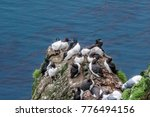 common murre  uria aalge  and... | Shutterstock . vector #776494156