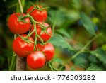 ripe tomato plant growing in... | Shutterstock . vector #776503282
