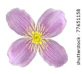Clematis Pink Flower with Yellow Center Isolated on White Background - stock photo