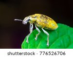 Small photo of Female Gold Dust Weevil (Arthropoda: Insecta: Coleoptera: Curculionidae: Entiminae: Tanymecini: Piazomiina: Hypomeces squamosus) stand and waiting on a green leaf isolated with dark black background
