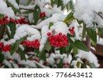 Cotoneaster Cornubia Tree...