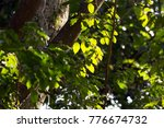 balsam of peru tree and leaves  ...   Shutterstock . vector #776674732