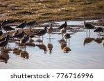 Flock Of Willet Shorebirds...