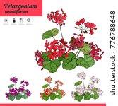 plant pelargonium isolated on... | Shutterstock .eps vector #776788648