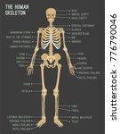 human skeleton image. vector... | Shutterstock .eps vector #776790046