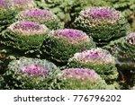 sweet purple cabbage | Shutterstock . vector #776796202