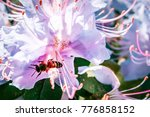 Bee On Rhododendron Flower...