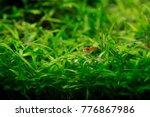 shrimp and fishes in aquarium... | Shutterstock . vector #776867986