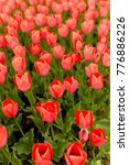 beautiful red tulips in a park... | Shutterstock . vector #776886226
