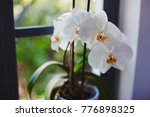 orchids blooming on window of...   Shutterstock . vector #776898325