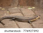 Rough Scaled Plated Lizard ...