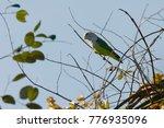 Small photo of Grey-headed Lovebird (Agapornis canus) - Madagascar