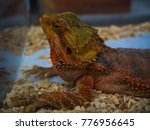 Close Up  Bearded Dragon In...