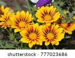 Flowers Gazania In The...