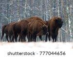 Several Large Brown Bison ...