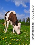 the calf on a summer pasture | Shutterstock . vector #77705170