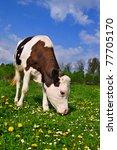 the calf on a summer pasture | Shutterstock . vector #77705170
