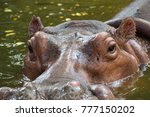 close up of hippopotamus's face ... | Shutterstock . vector #777150202