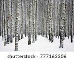 snowy trunks of birch trees in... | Shutterstock . vector #777163306