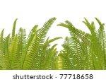 fern leaf  on white background   Shutterstock . vector #77718658
