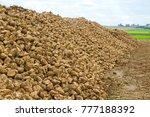 shugar beets on a field | Shutterstock . vector #777188392