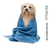A Wet Cream Havanese Dog After...