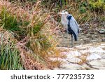 blue heron resting on the rock... | Shutterstock . vector #777235732