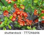 beautiful red chaenomeles... | Shutterstock . vector #777246646