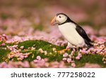 atlantic puffin standing in the ... | Shutterstock . vector #777258022