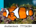 Clownfish in saltwater aquarium - stock photo