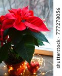 red poinsettia  euphorbia... | Shutterstock . vector #777278056