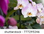 purple phalaenopsis orchid... | Shutterstock . vector #777295246